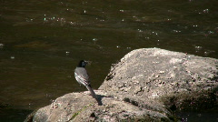 Male wagtail (Motacilla alba) on a rock 4 Stock Footage