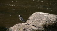 Stock Video Footage of Male wagtail (Motacilla alba) on a rock 4