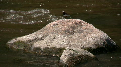 Male wagtail (Motacilla alba) on a rock 6 Stock Footage