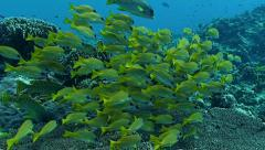 School of snappers over coral reef,Red Sea Stock Footage
