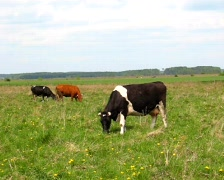 herd of cows eating grass  - stock footage