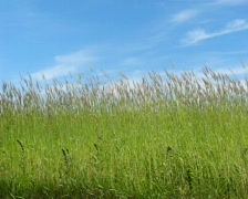 young wheat moves from the wind - stock footage