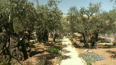 Olive gethsemane pan 1 Stock Footage