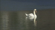 SwanMS.mov Stock Footage