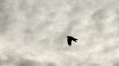 crow in flight - stock footage