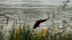 Red-winged blackbird lands Stock Footage