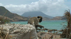Monkey: Sea Monkey Stock Footage