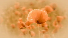 Poppies - stock footage