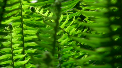 Ferns in breeze - HD  Stock Footage