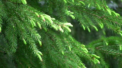 Spruce sprig Stock Footage