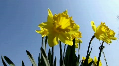 Daffodils, Amaryllidaceae Narcissus, Hybride Pistachio Stock Footage