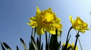 Stock Video Footage of Daffodils, Amaryllidaceae Narcissus, Hybride Pistachio