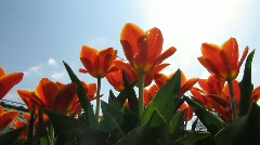 Close-up Botanic Garden Tulips flower blossom in Spring Stock Footage