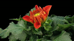 Time-lapse of blooming red dahlia 4 with ALPHA matte front - stock footage