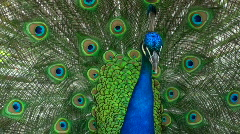 Displaying peacock - HD  Stock Footage