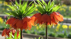 Liliaceae, Crown Imperial Fritillaria imperial, Rubra Maxima Stock Footage