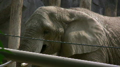 Elephant behind Fence chewing Sticks Stock Footage
