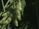 Soybean pods CU in breeze Stock Footage