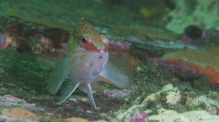 Hawk fish sitting on Soft Coral Stock Footage