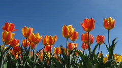 Close-up Botanic Garden Tulips Tulip flower in Spring Stock Footage