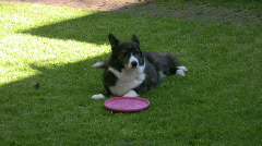 Welsh Corgi and his frisbee Stock Footage
