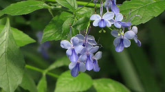 Glory Bower, Clerodendron Ugandense, - stock footage