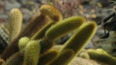 Cactus Cactaceae  Cleistocactus Witteri, Bolivia. Stock Footage