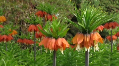 Crown Imperial in garden Stock Footage