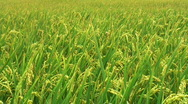 Stock Video Footage of Rice field before harvest