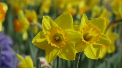 Daffodils blossom in garden Stock Footage