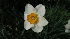 Narcissus Hybride Schalen Narzisse in Garden, - stock footage