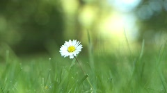 Daisy Stock Footage