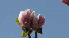 Magnolia blossom, Soulangiana Speciosa in park Stock Footage