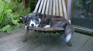 Stock Video Footage of Welsh Corgi laying on a chair