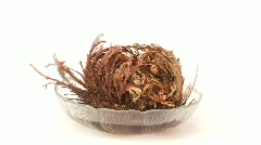 Time lapse: false rose of Jericho Stock Footage