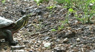 Stock Video Footage of Turtle moving slow