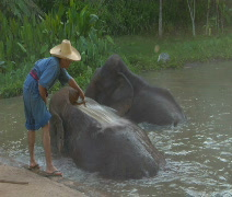 Man washes elephants in Thai jungle Stock Footage