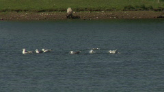 Common Gulls bathe in fresh water Stock Footage