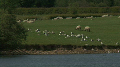 Common Gulls rest and preen as sheep graze Stock Footage