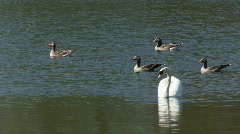 Greylag Geese and Mute Swan on water Stock Footage