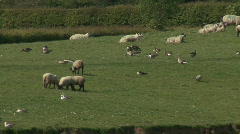 Greylag Geese and sheep graze Stock Footage
