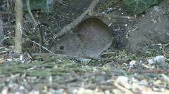 Mouse under hedge eats fallen birdseed 3 Stock Footage