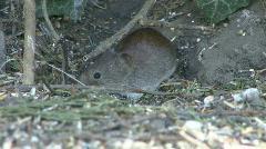 Mouse under hedge eats fallen birdseed 3 - stock footage