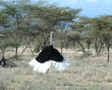 Ostrich with breeding colors Stock Footage