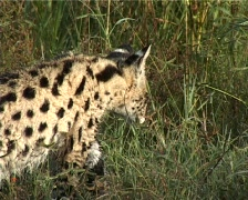 Serval cat hunting Stock Footage