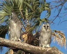 An owl. vereaux eagle owl. Stock Footage