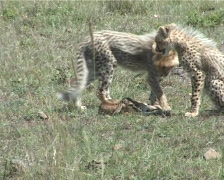 Cheetah cubs with a kill Stock Footage