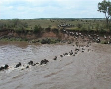 wilderbeest crossing mara river. Stock Footage