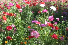 Colorful poppies and wildflowers grow in the foothills. Stock Footage