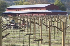 A vineyard with trellises grows in front of a large red barn. - stock footage